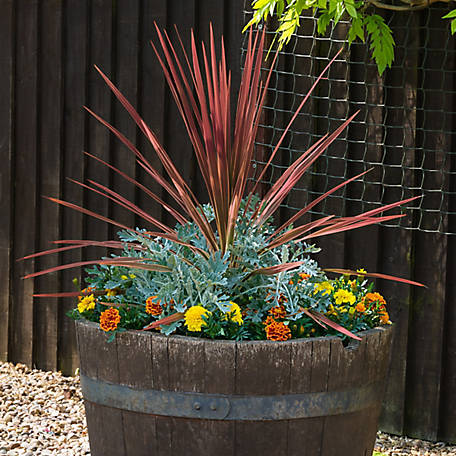 National Plant Network Cordyline 'Red Sensation', 2 pc., Plant with Purpose, TSC7196