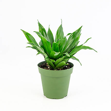 National Plant Network Dracaena 'Janet Craig Compacta', 2 pc., Plant with Purpose, TSC7197