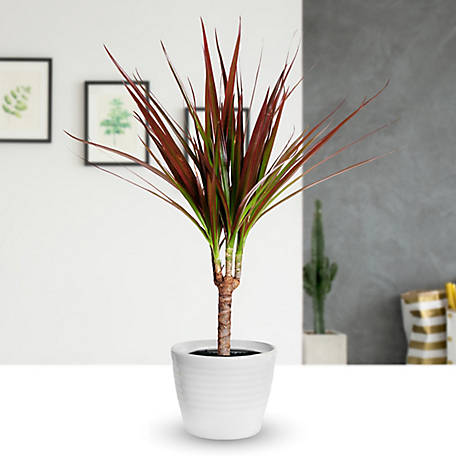 National Plant Network Dracaena 'Magenta', 2 pc., Plant with Purpose, TSC7198