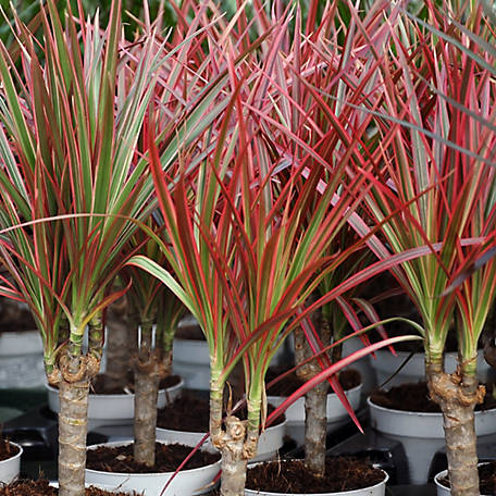National Plant Network Dracaena 'Bi-Color', 2 pc., Plant with Purpose, TSC7199