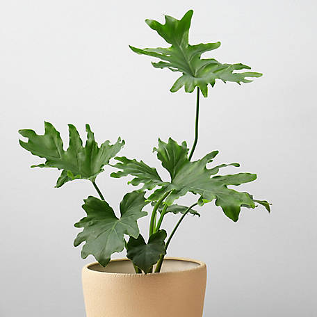National Plant Network Philodendron 'Xanadu', Plant with Purpose, TSC7211