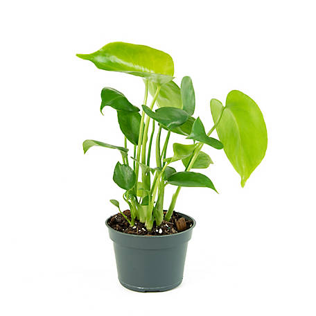 National Plant Network Swiss Cheese Plant, 2 pc., Plant with Purpose, TSC7214