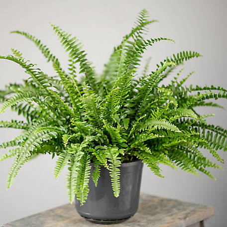 National Plant Network Australian Sword Fern, Plant with Purpose, TSC7221