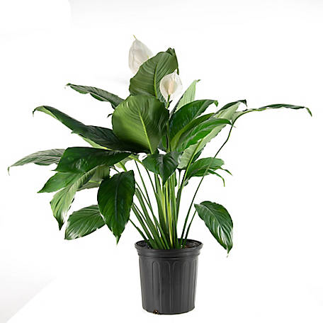 National Plant Network Peace Lily, Plant with Purpose, TSC7230