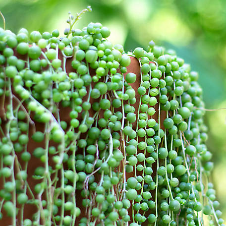 National Plant Network String of Pearls, 2 pc., Plant with Purpose, TSC7238