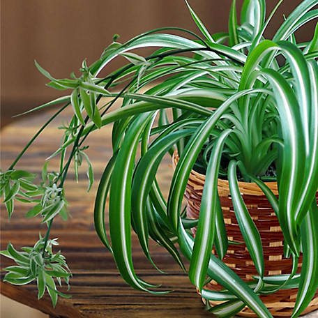 National Plant Network Spider Plant, 2 pc., Plant with Purpose, TSC7242