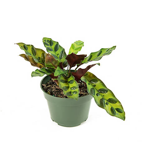 National Plant Network Calathea 'Rattlesnake', 2 pc., Plant with Purpose, TSC7248