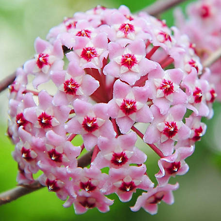 National Plant Network Hoya 'Exotic Tri-Color', 2 pc., Plant with Purpose, TSC7253