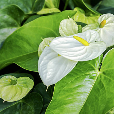 National Plant Network Anthurium White Heart, Plant with Purpose, TSC7261