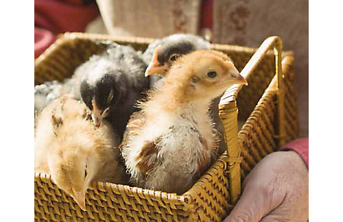 chicks-8-16-weeks-old | Tractor Supply Co