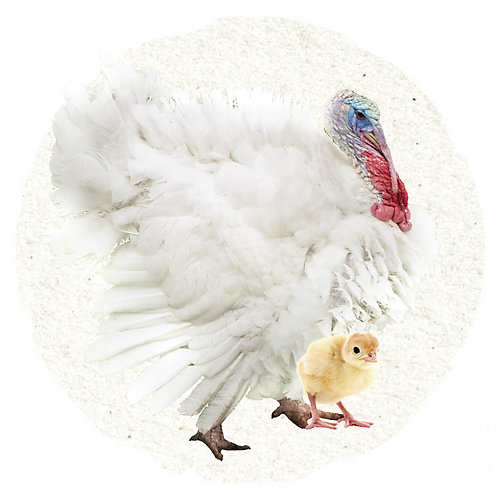 White Turkey - Tractor Supply Co.