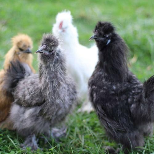 Chicks, Ducks, Turkeys & More - Tractor Supply Co.