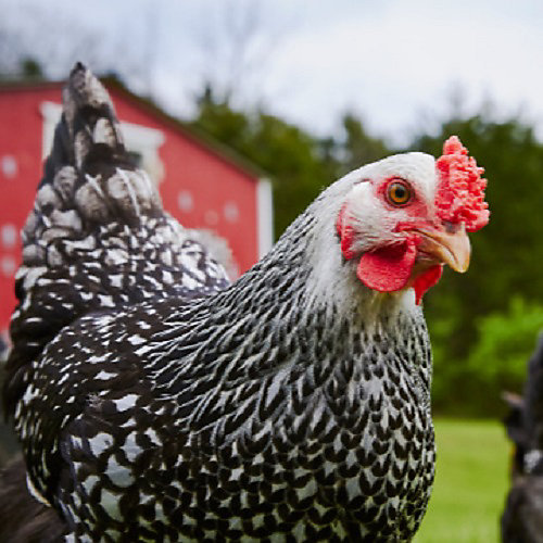 Poultry Feed & Treats - Tractor Supply Co.